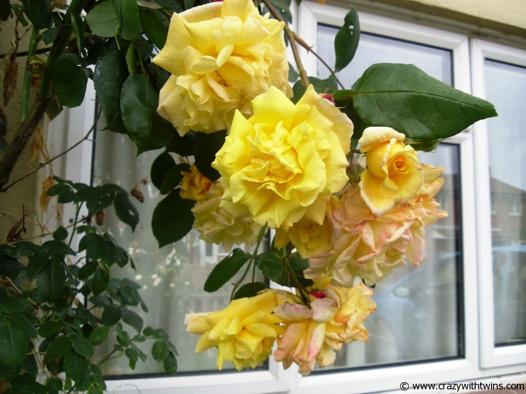 The roses that grew over the front door of one of our more recent houses!