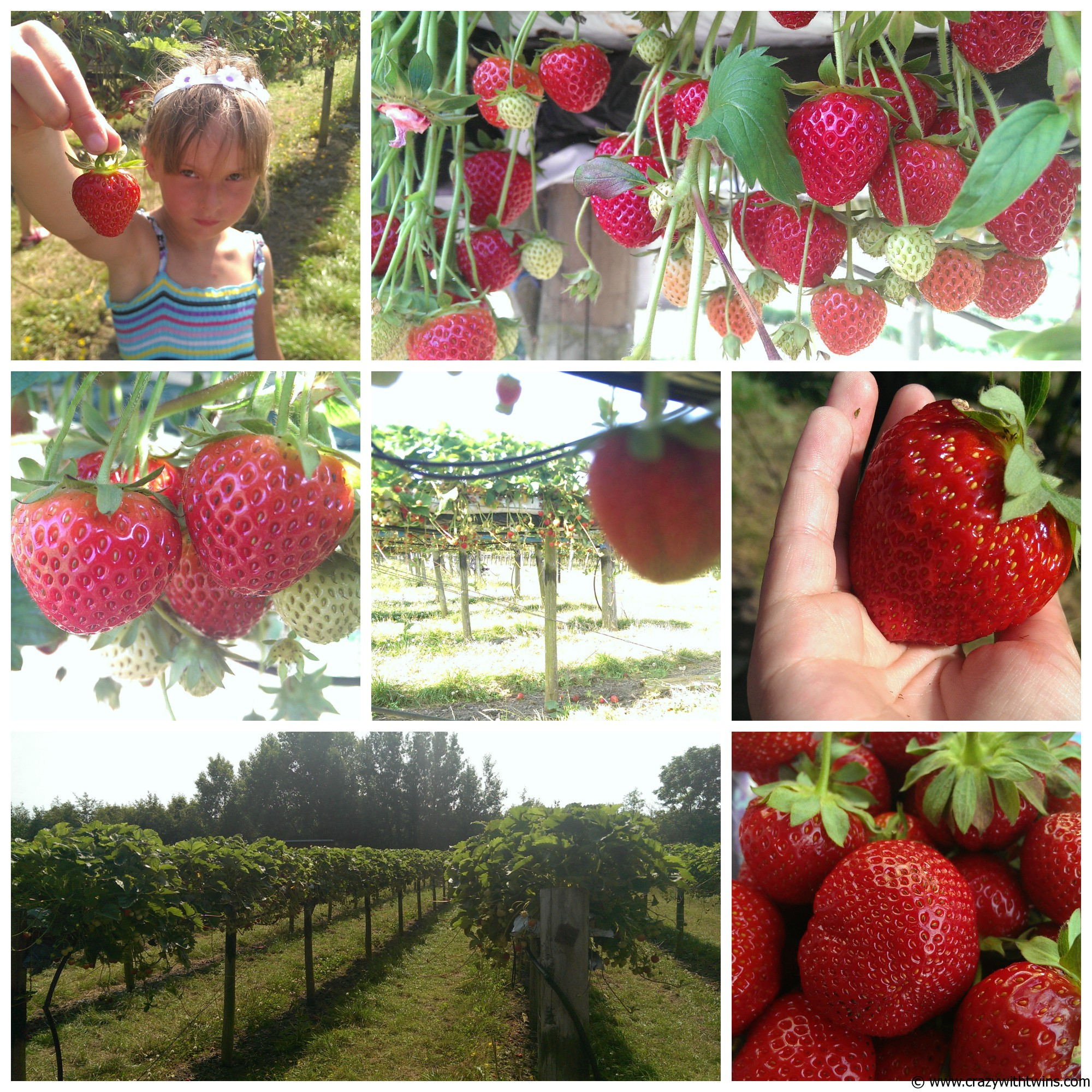 Primrose Vale strawberry picking