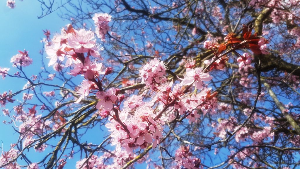 pink blossom, blosson, snow to spring in one week, british weather, british springtime